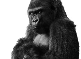 Jacko, de gorilla