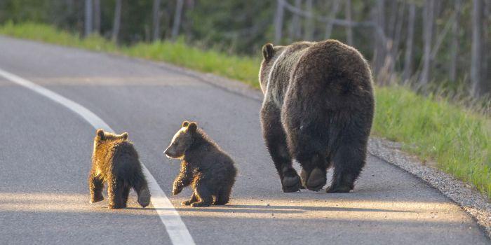 Het is niet best voorbeurs, want er zitten heel veel beren op de weg